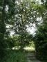Dub pod Hájem u potoka